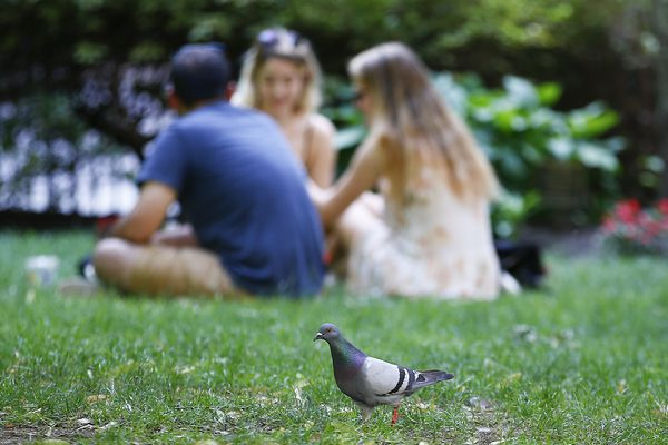 Where have all the pigeons gone? Philly numbers are down as predators thrive. Could it be a trend?