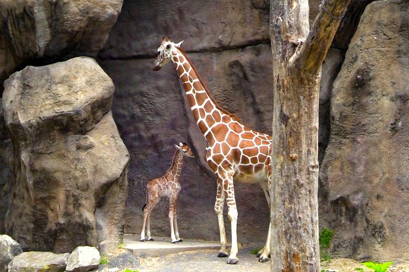 Philadelphia Zoo welcomes newborn giraffe, Beau