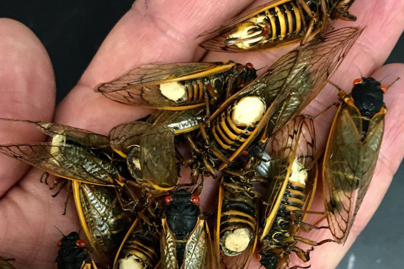 'Zombie' cicadas, under the influence of a fungus, are mating until death