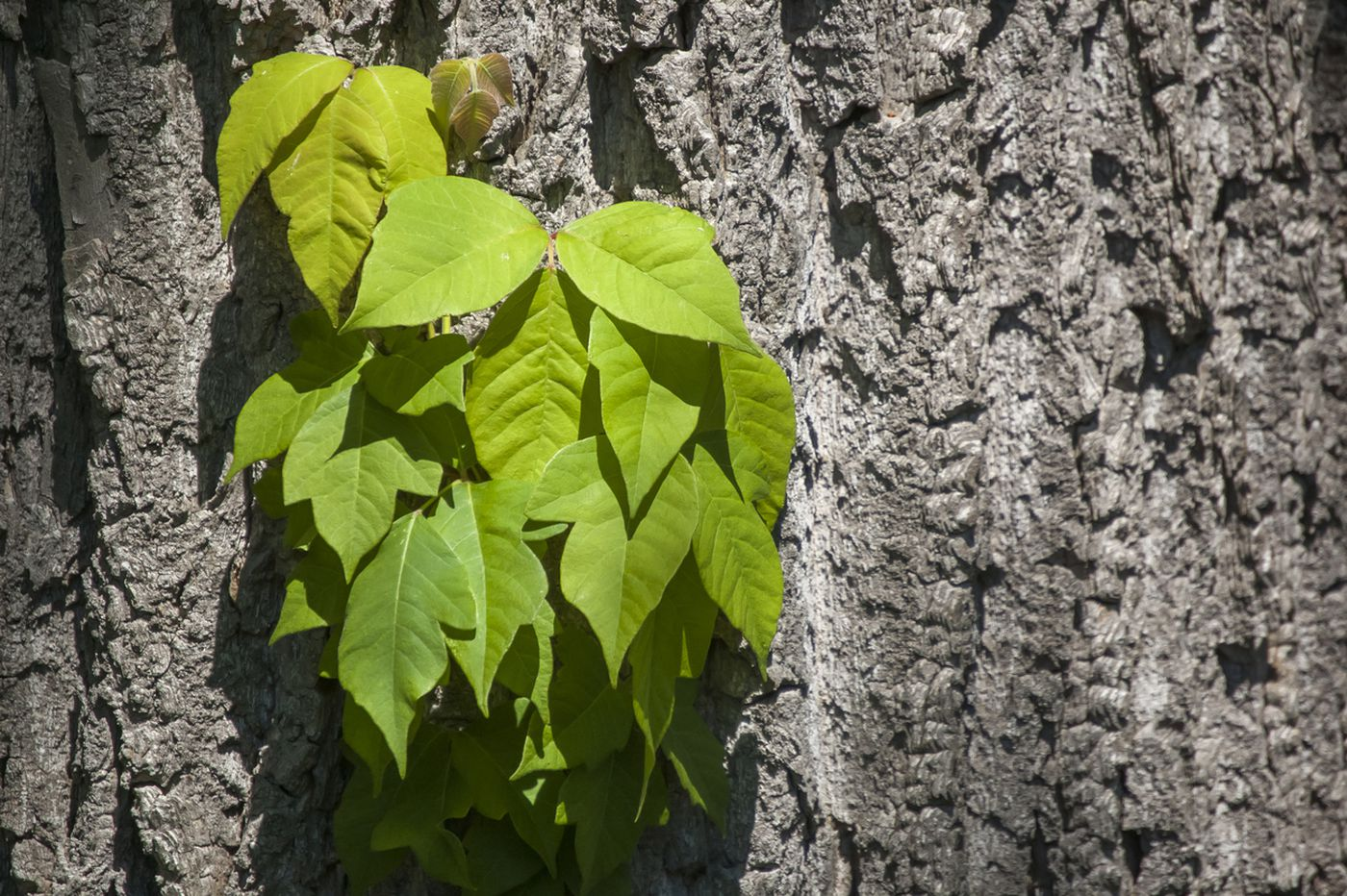 Q&A: How do I know if I have poison ivy?