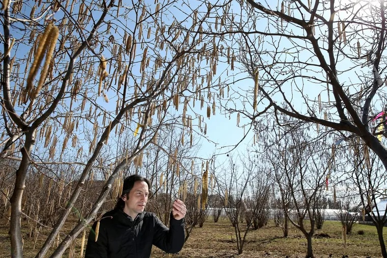 Rutgers professor Thomas Molnar examines a hazelnut tree at Rutgers Hort Farm No. 3 in New Brunswick, N.J. Professor Molnar has developed a hazelnut tree that is resistant to diseases that have historically made it impossible to grow hazelnuts in New Jersey. These hazelnuts could be the saving grace for Nutella in the face of a global hazelnut shortage.