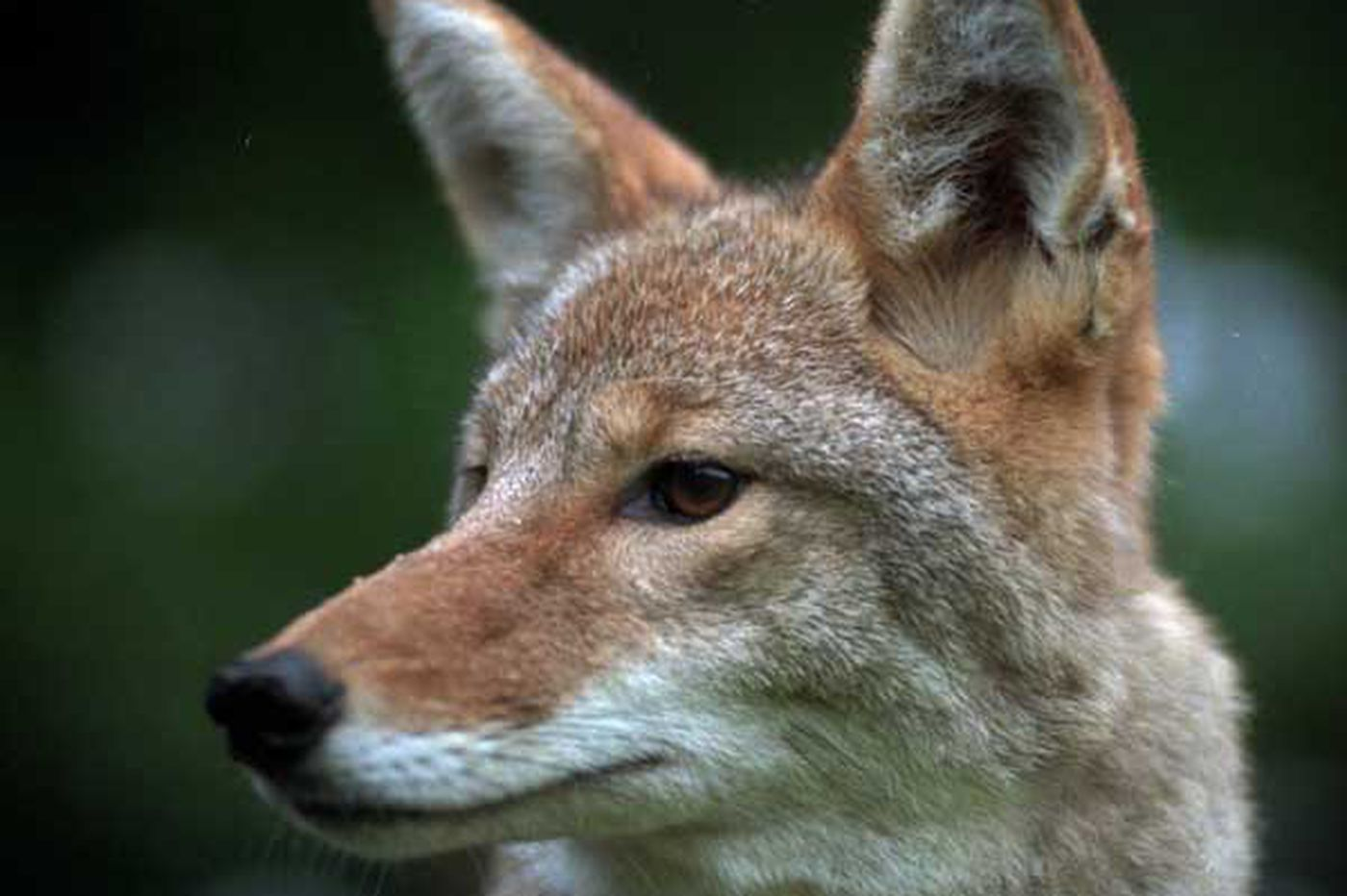 Coyote conspiracy: Myth, or state-business collusion?