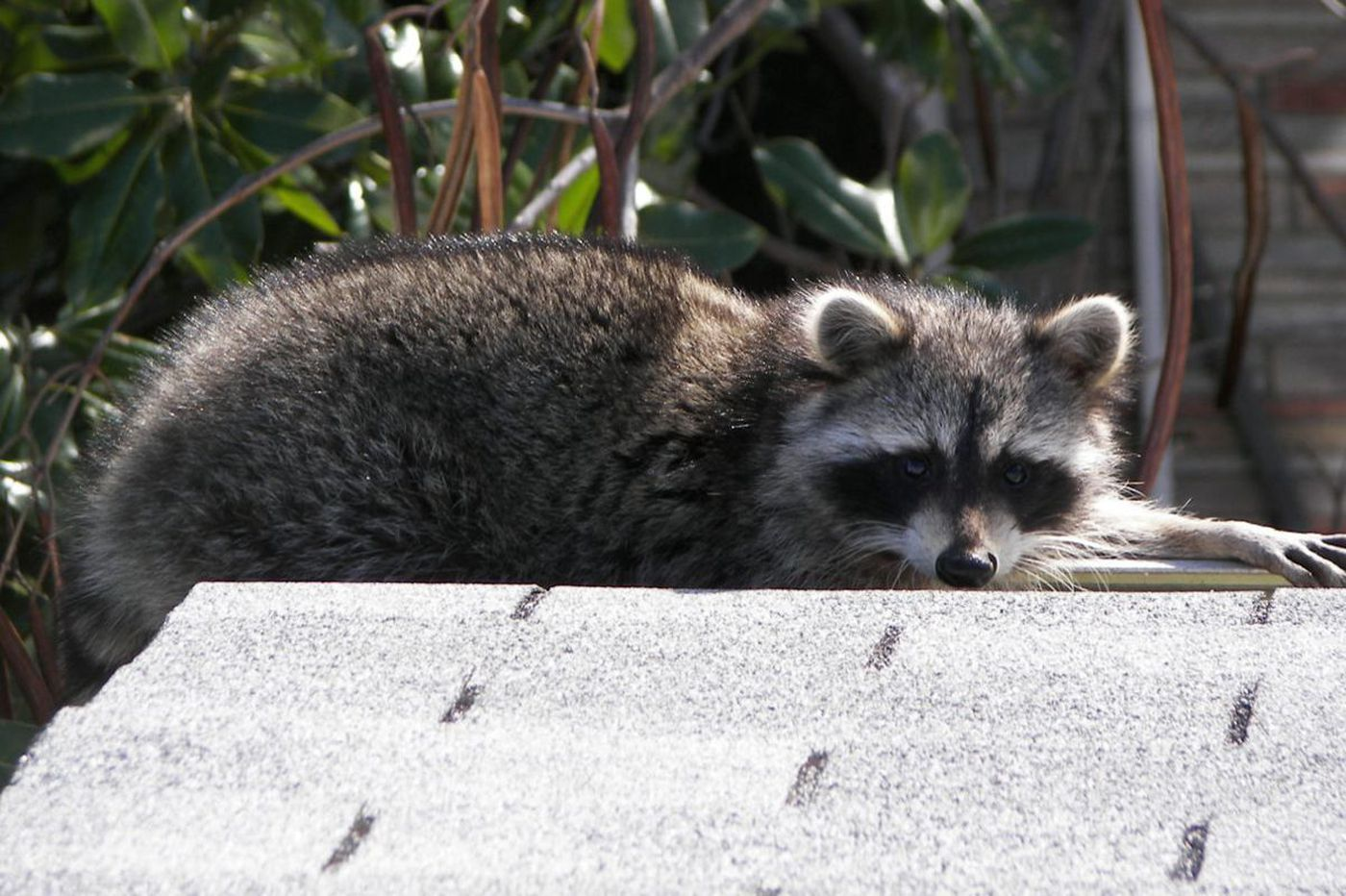 Philly is dealing with raccoons and 'aggressive' rats during the coronavirus pandemic