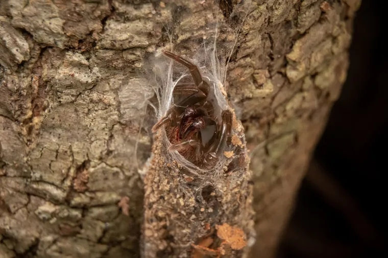 A Pennsylvanian purseweb spider at the entrance to its tunnel-like web.