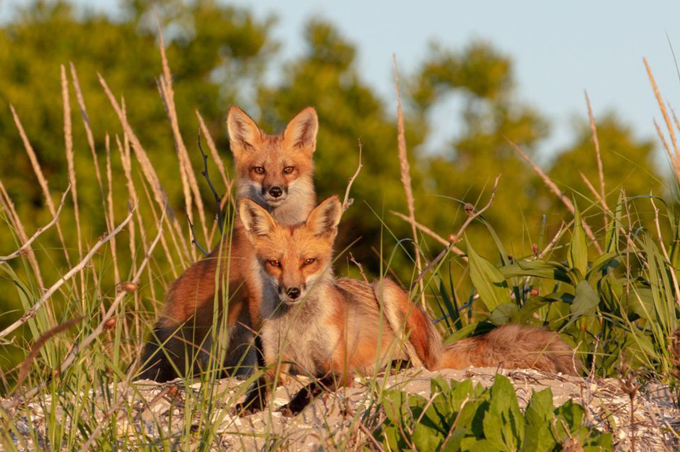 In This Jersey Shore Town Residents Fight To Preserve Foxes And Birds