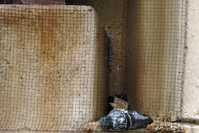 A dead pigeon, caught in the bridge netting. (Ron Tarver / Staff Photographer)