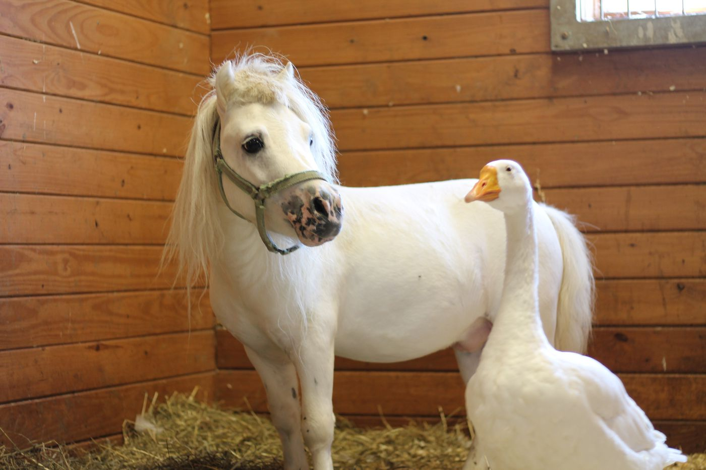 A miniature horse and a goose, best friends, are looking for a forever home