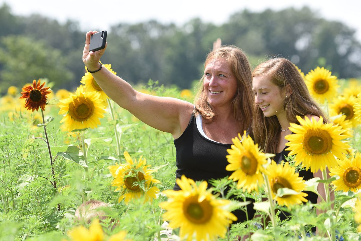 For two weeks every summer, this Chester County sunflower