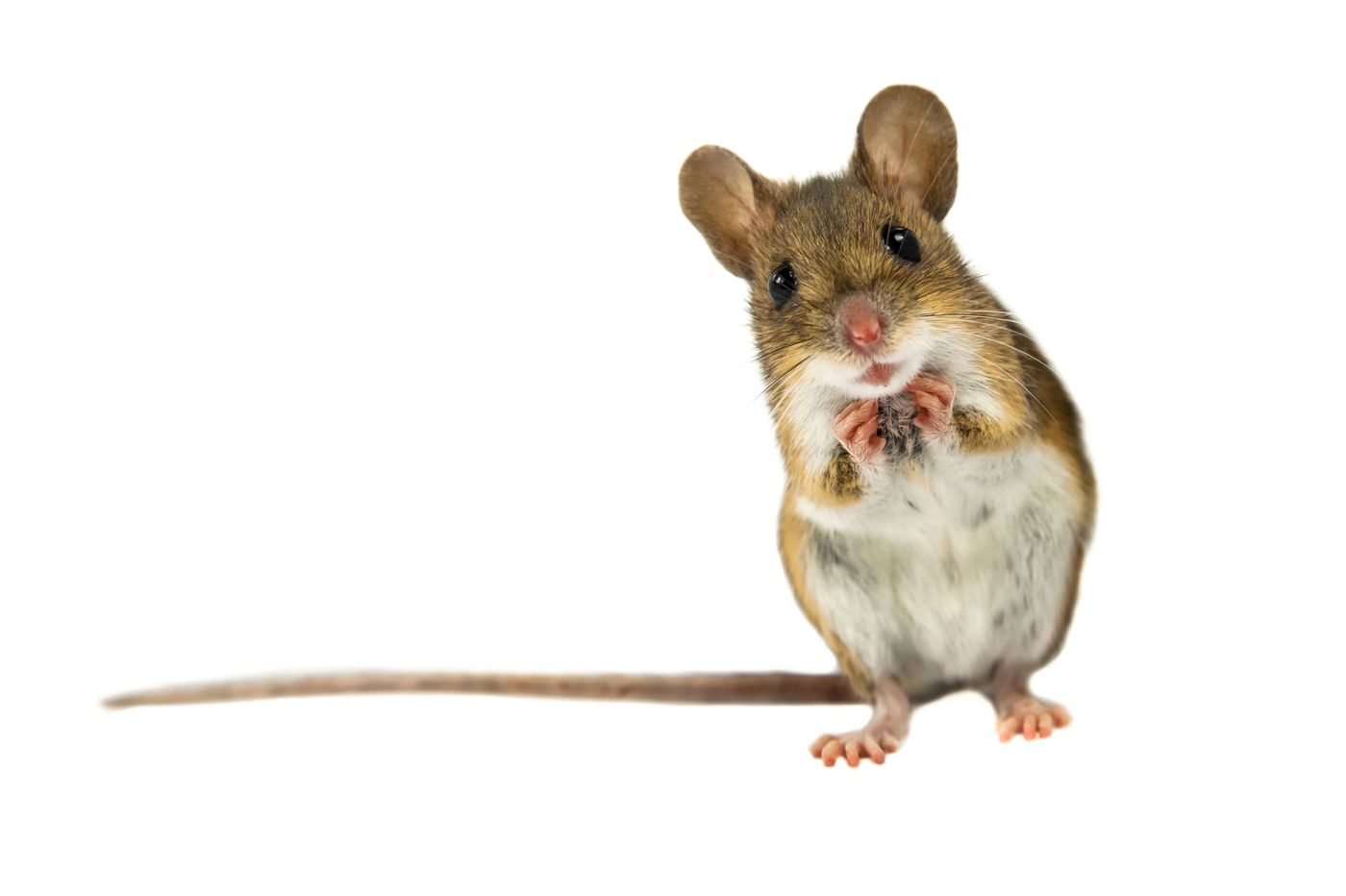 Fall Can Mean Home Invasions By Mice Rats