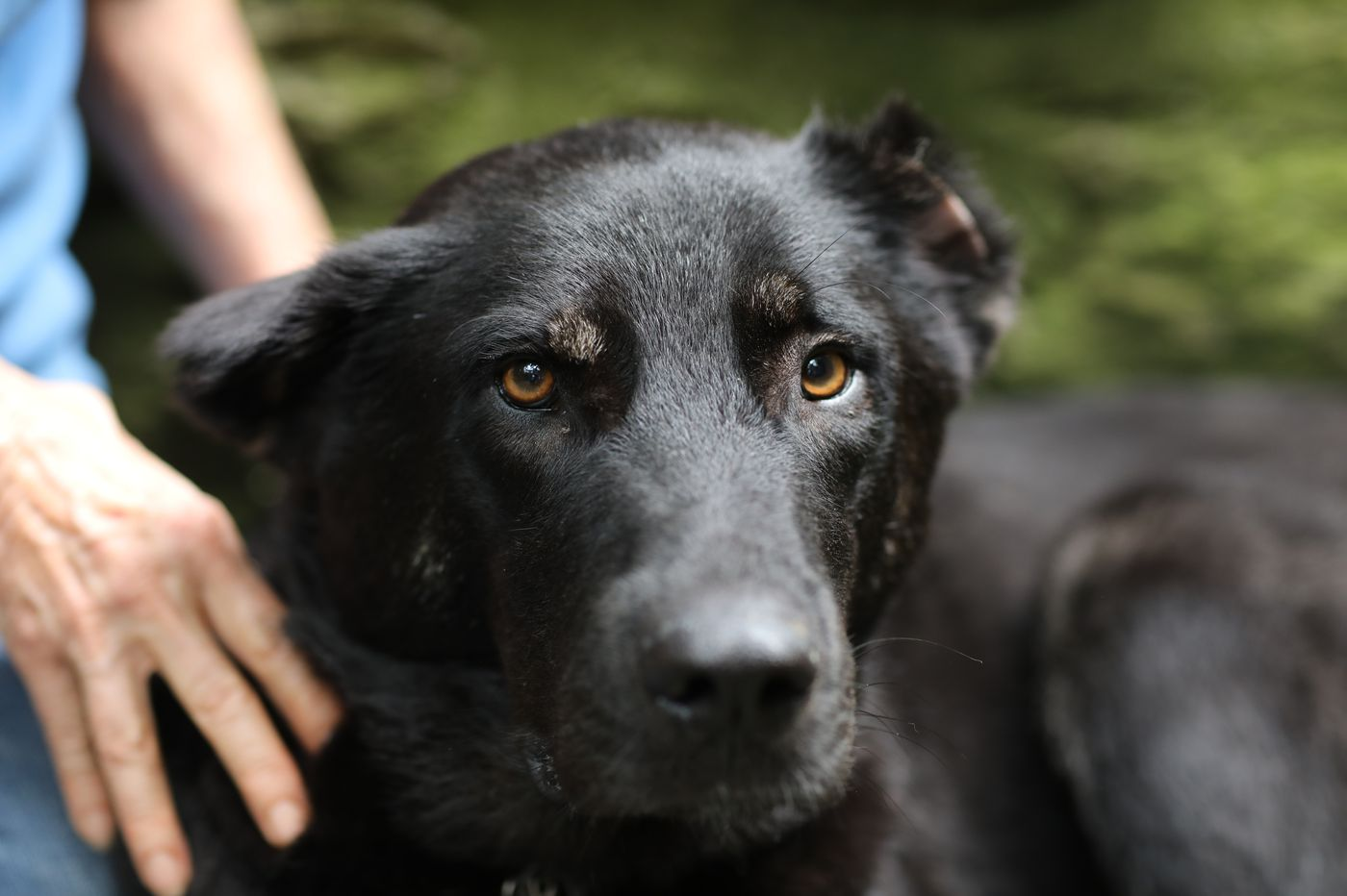 Shot in Iraq, Apollo the war-zone dog may find pain relief thanks to 3D printing