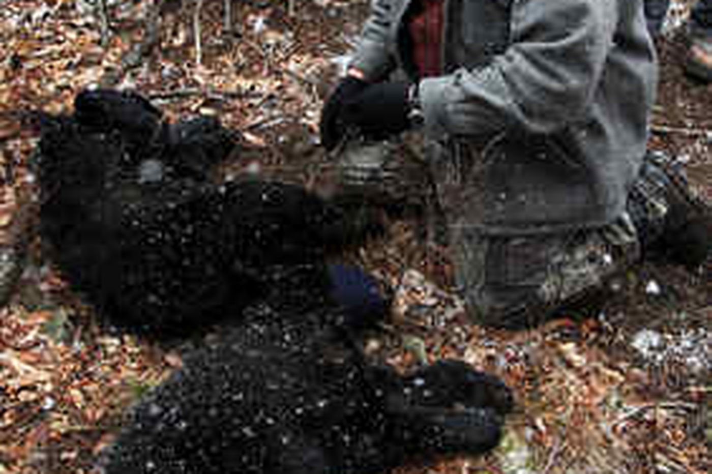 Pa.'s black bear population steadily increasing