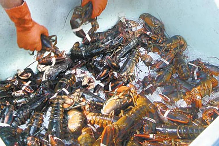 """Adam Horvat unloads his catch. """"For a lobster to reach a one-pound size, which is about the minimum weight you can sell a lobster at, it takes a lobster between six and eight years,"""" one angler said. (JEN WULF / Staff)"""