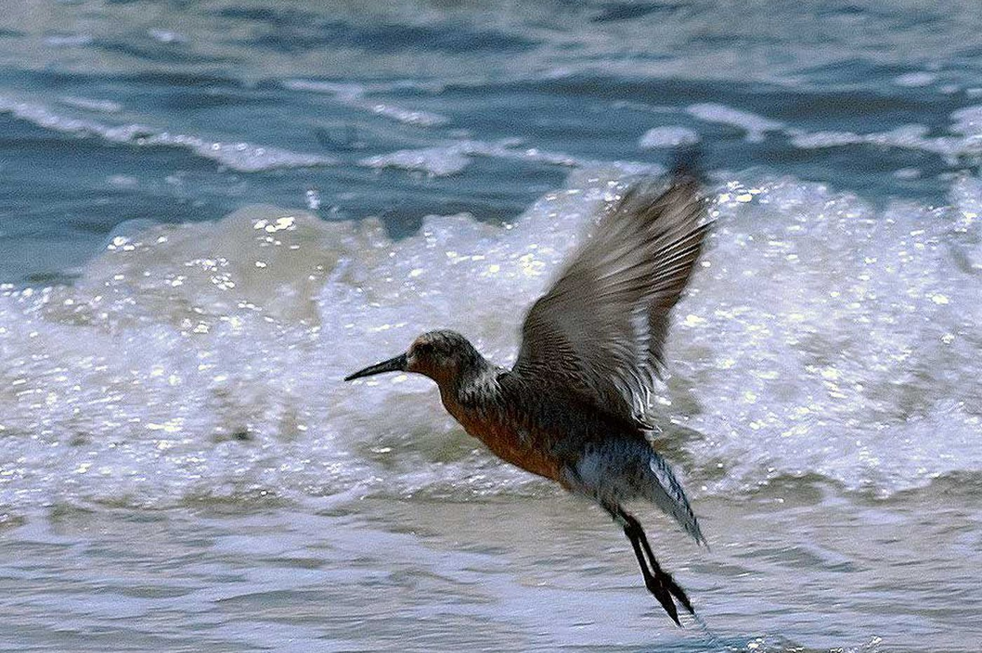 NJ Audubon says Red Knot will be listed as threatened