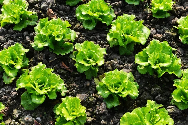 The monthlong outbreak of a virulent E. coli strain tied to romaine lettuce has now sent 42 people to hospitals in 19 states, according to federal officials.
