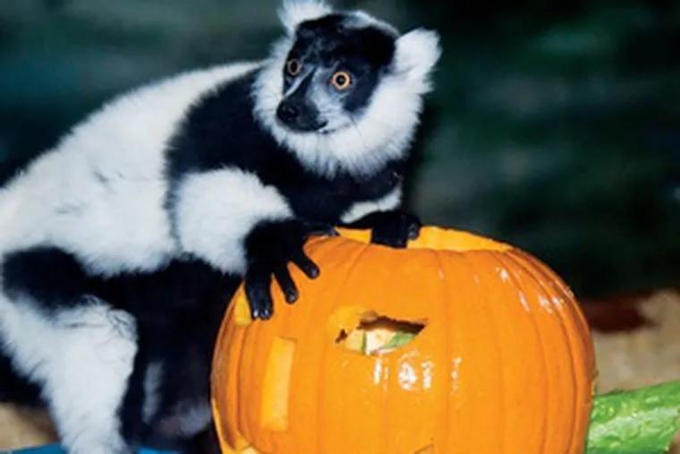 In this file photo, a pumpkin-lovin' lemur celebrates Halloween at the Philadelphia Zoo