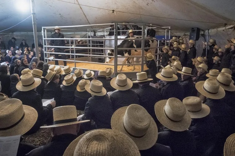 In a small, white tent, Amish farmers take part in an April 10 auction of dairy cows – an increasingly frequent event as milk prices keep falling.