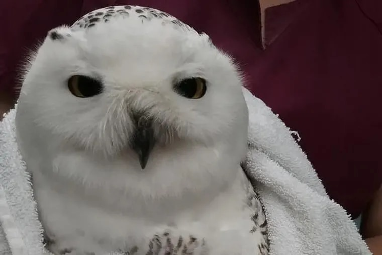 The young male snowy owl, his wounds treated and wrapped, is recovering at Centre Wildlife Care in Port Matilda.