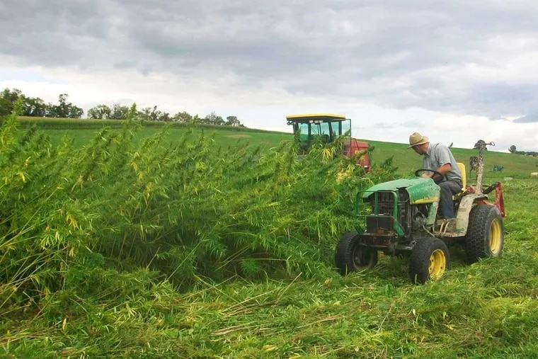 Hemp was harvested on Aug. 25 at the Rodale Institute's experimental farm near Kutztown.  Much of the crop had been flattened the day before by high winds.