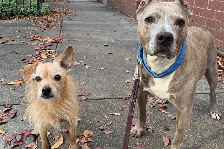 Super (left) and Muffin (right) take a walk with Marisa Scully, a longtime dog trainer with concerns about pandemic adoptions, on the 2100 block of Race Street.