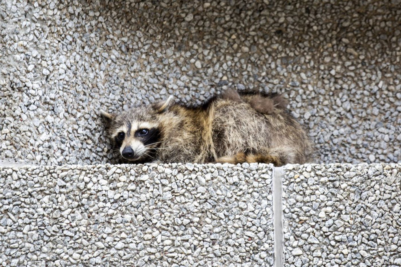 How did a raccoon make it to the top of a skyscraper? 'Superpowers,' expert says