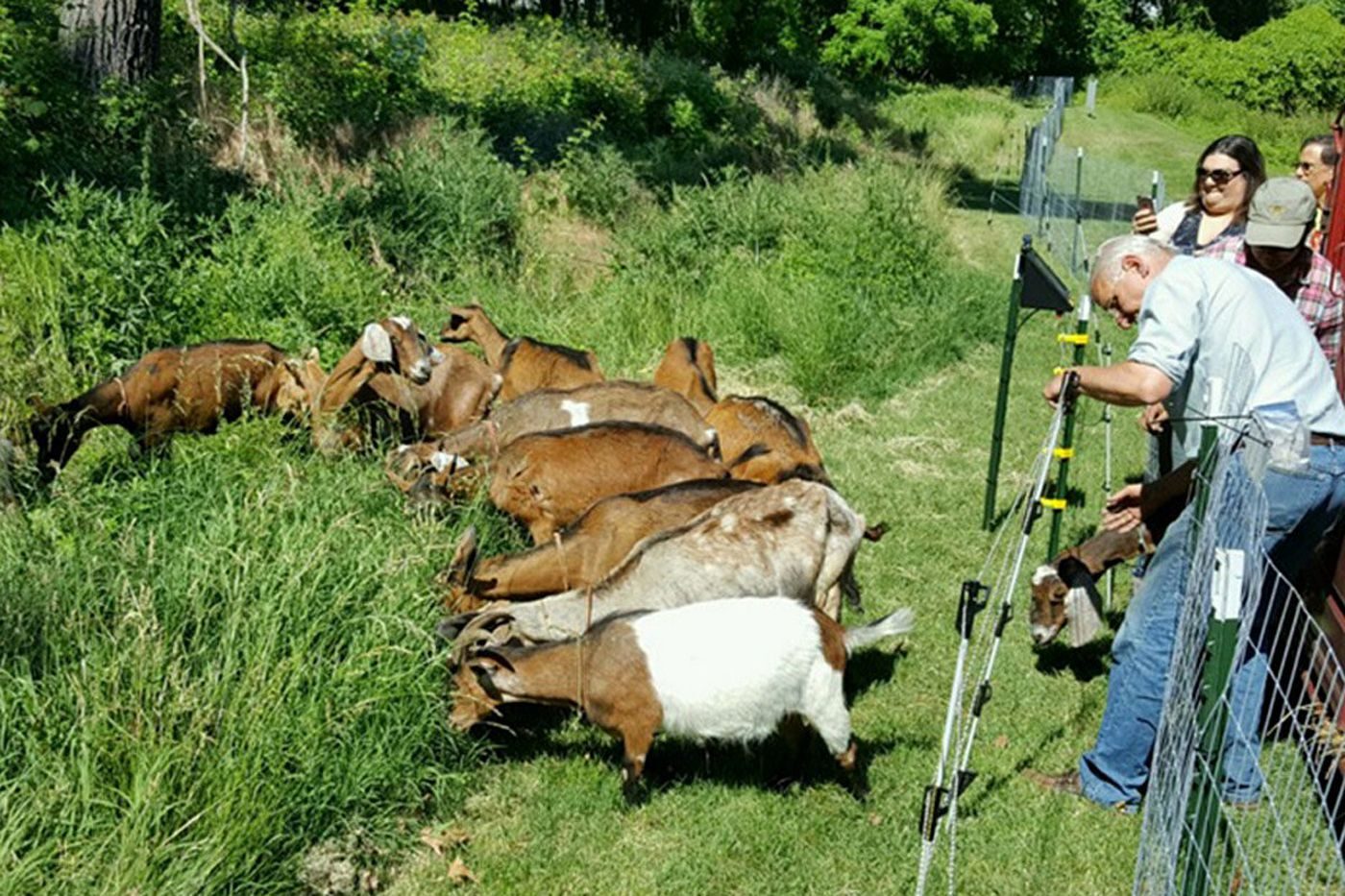 Goats, sheep maintain land in some Philly suburbs  Yes, you