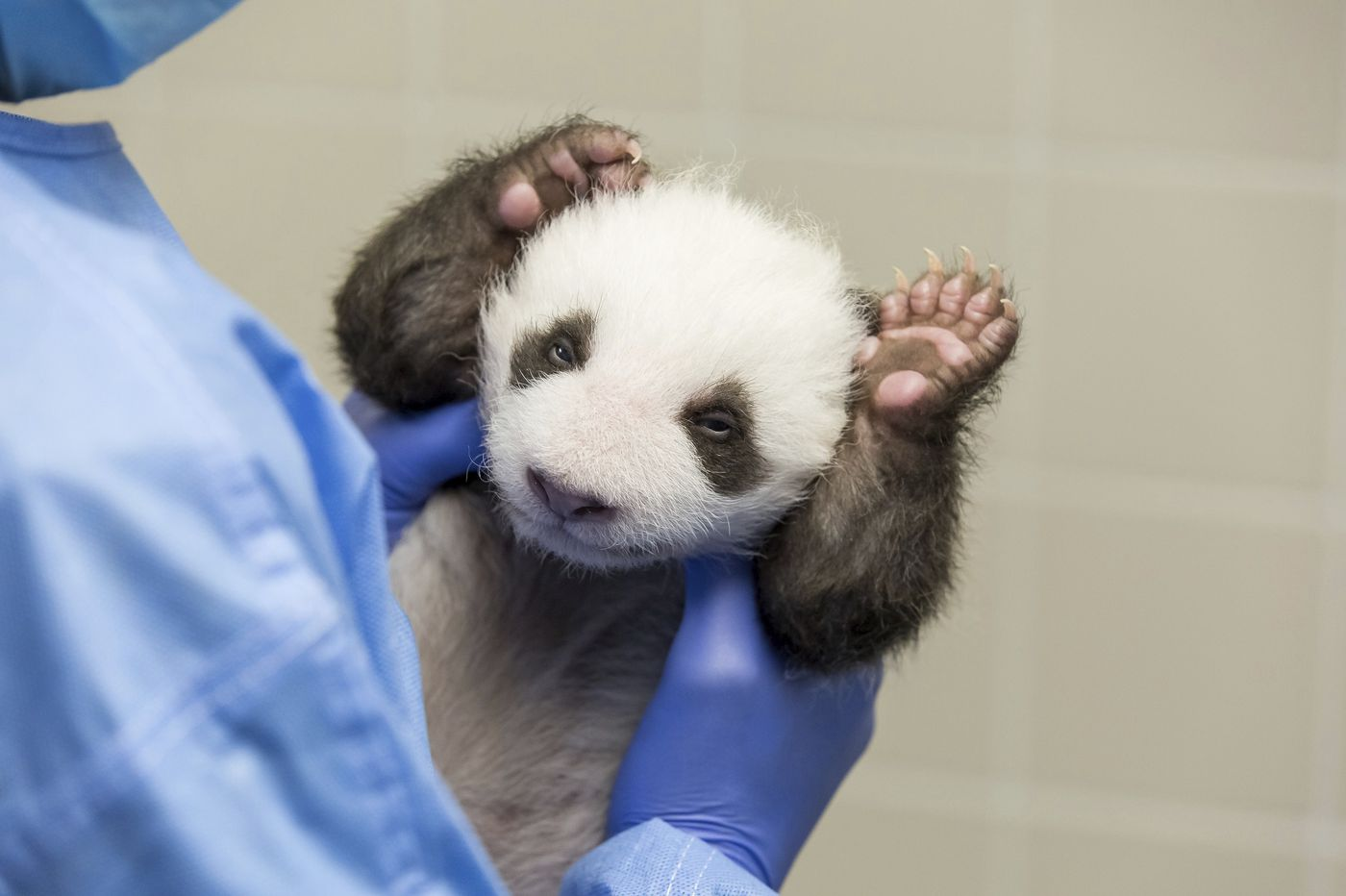 Berlin zoo's panda cubs take 1st glimpse of the world