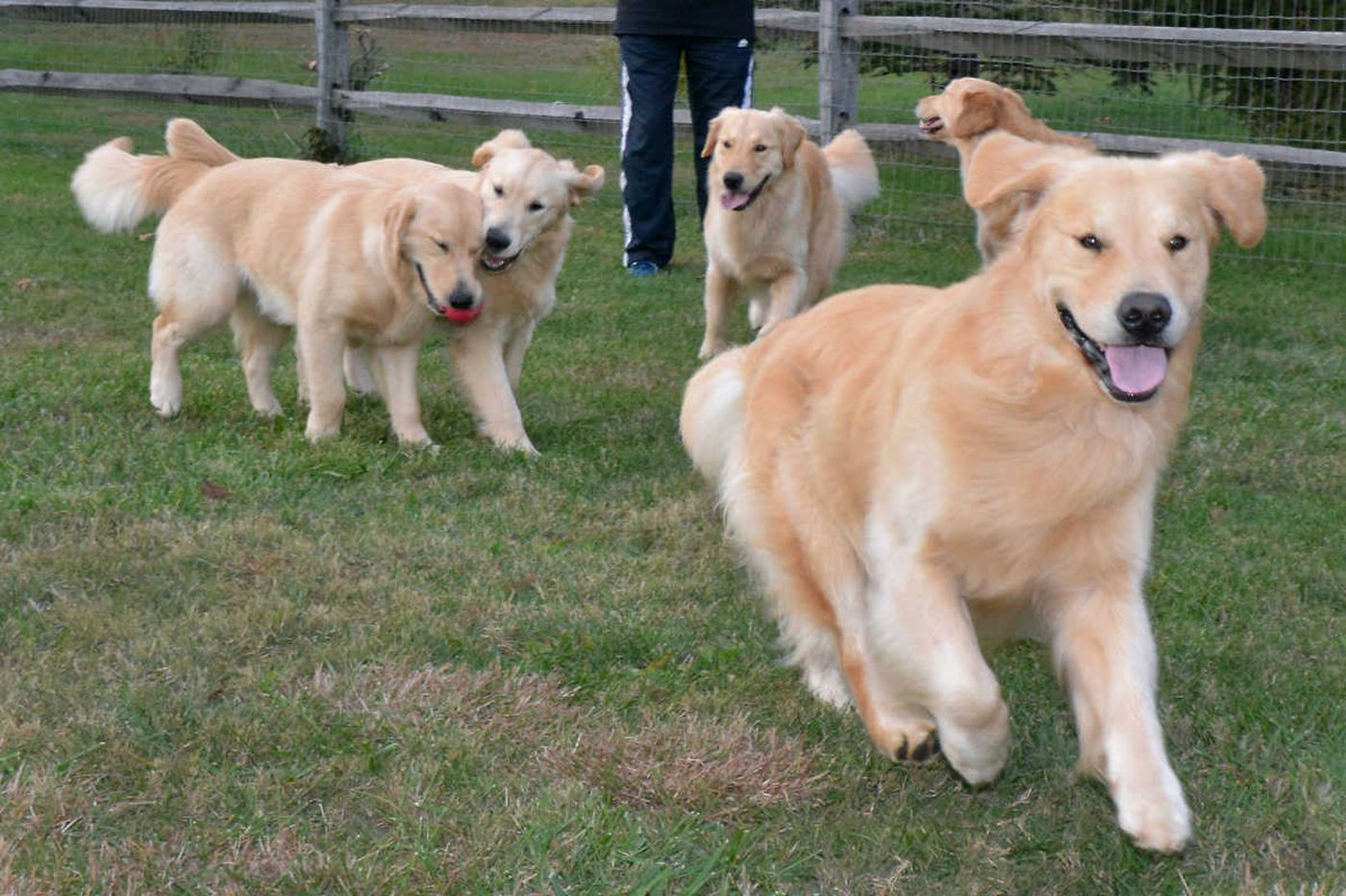 Golden Tracker going for the gold at National Dog Show