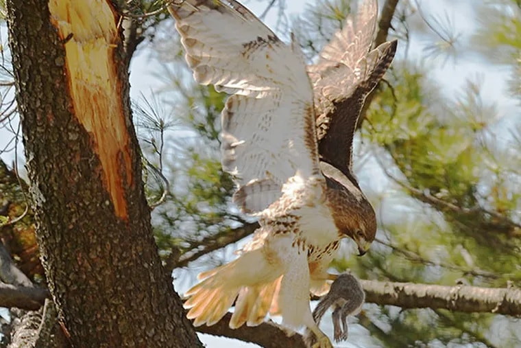 A red-tailed hawk brings food back to his mate sitting in a nest high atop a pine tree on St. Joseph's University campus on April 24, 2014.  Experts believe there may be two or three eggs in the nest.  ( CLEM MURRAY / Staff Photographer )