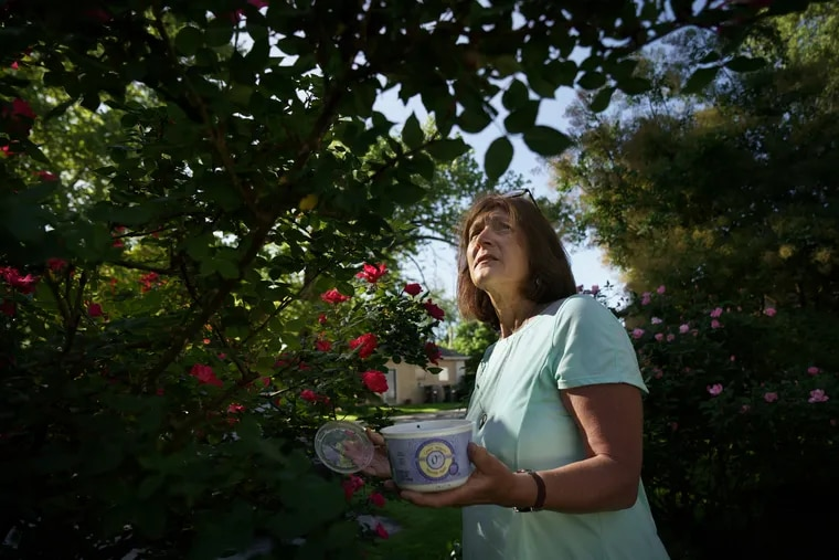 Lorraine Phillips shown here catching and killing the Lantern Flies that are in her rose bushes, she puts the flies in a natural solution in the plastic container in her hand to kill the bugs, in Phoenixville, Pa, May 24, 2019.