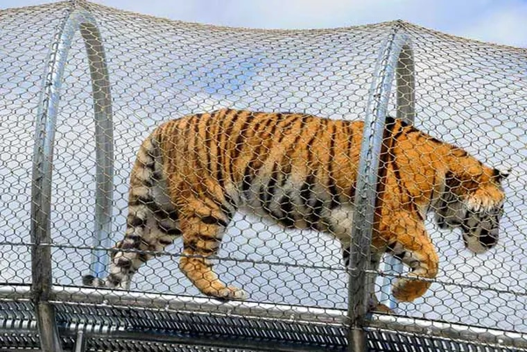 A tiger tries out the the latest $2.3 million addition to the Philadelphia Zoo's innovative animal trails. ( TOM GRALISH / Staff Photographer )