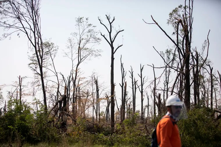 """The """"old growth forest"""" has many fallen trees and bare trees left without limbs or leaves at Temple University's Ambler Campus. The campus suffered damage from a tornado spawned by the remnants of Ida earlier this month."""