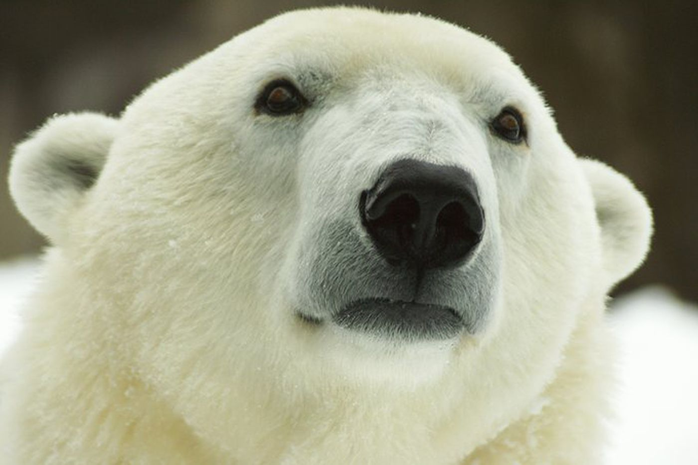 Philadelphia Zoo's Klondike the polar bear dies