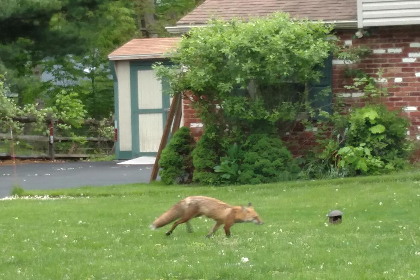 Police: Red foxes causing trouble in Bucks neighborhoods