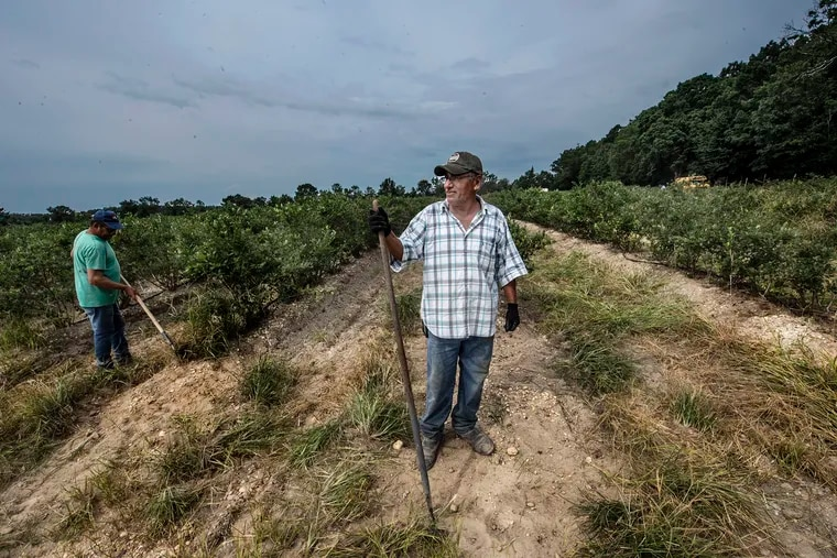 Feliciano Sandoval, a year-round supervisor at Merlino Brothers Farm in Hammonton, tends a blueberry field in early August.