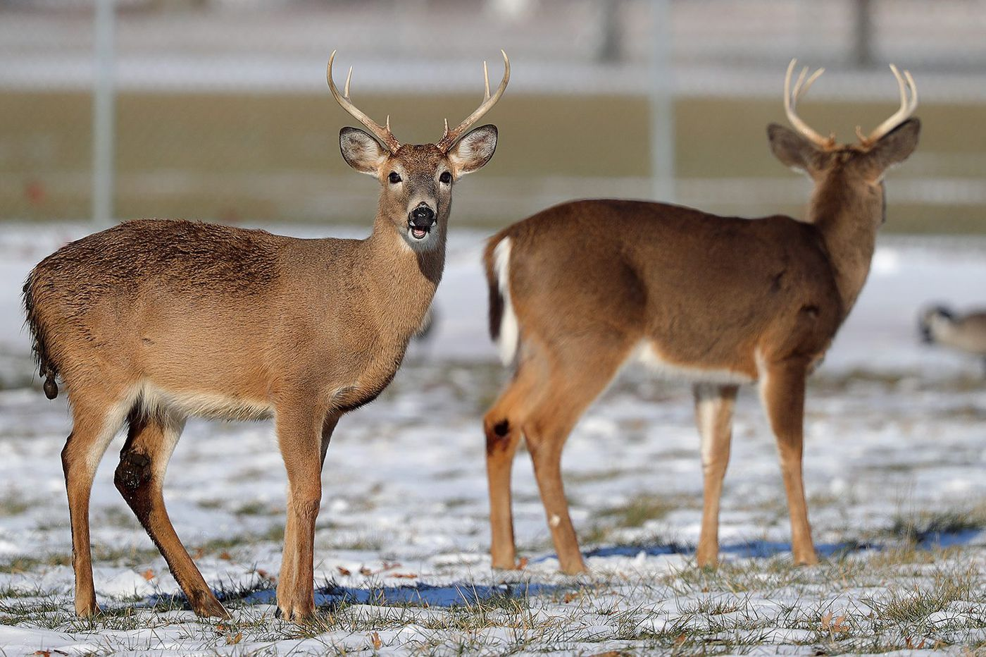 Disease is killing deer in S.E. Pennsylvania