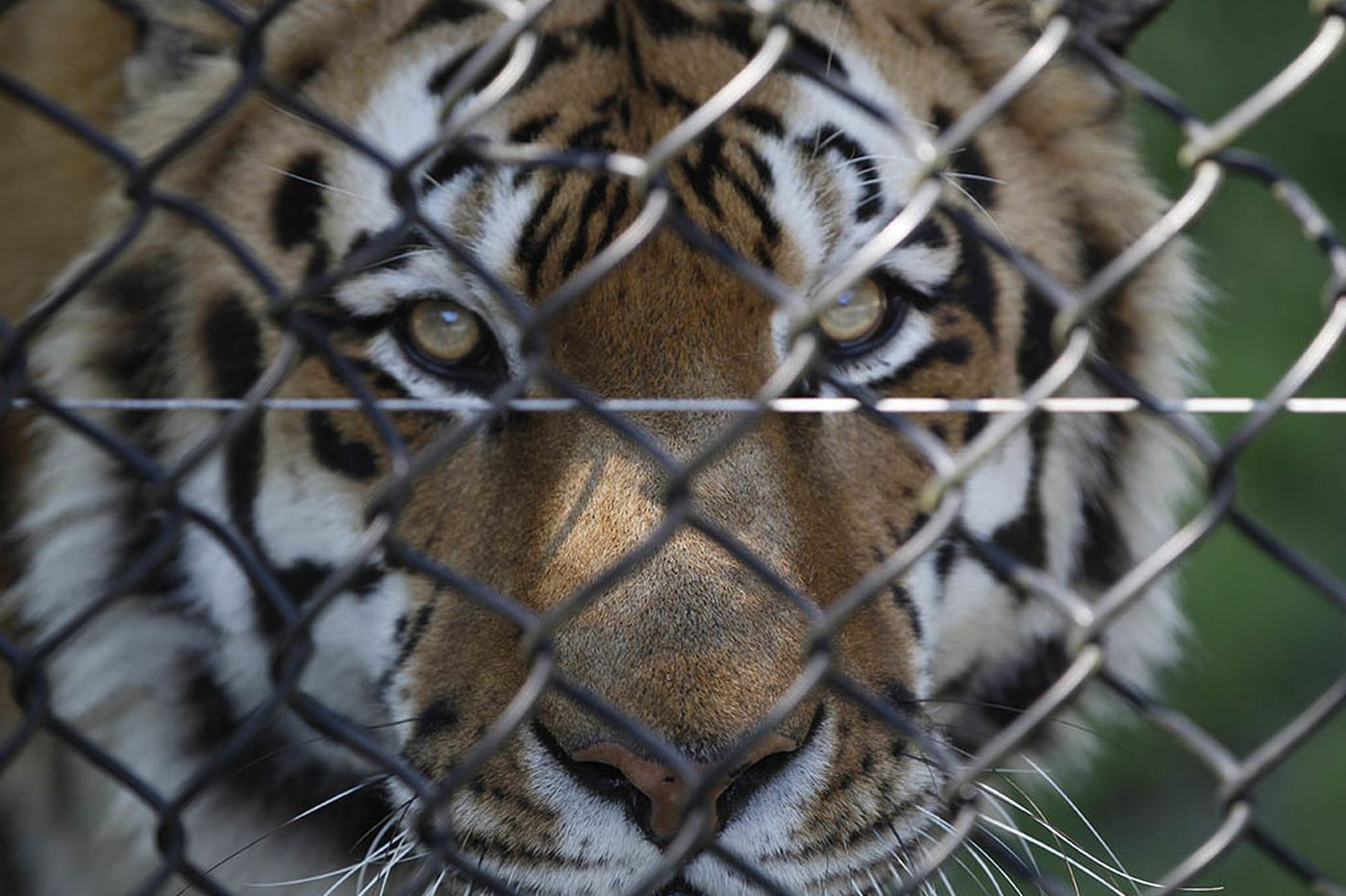 Could a 'Tiger King' set up shop in Pennsylvania or New Jersey?