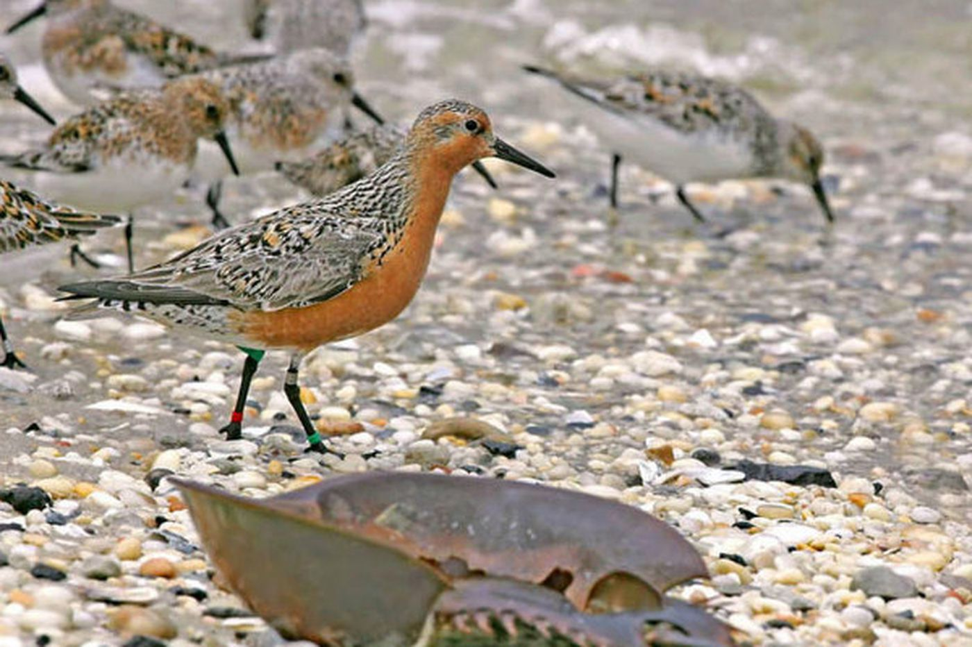 Concerns over red knots, horseshoe crabs, oysters spark debate