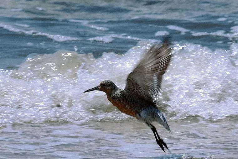 The Red Knot will be listed by the U.S. Fish and Wildlife Service as a threatened species under the Endangered Species Act. (BOB WILLIAMS / File)