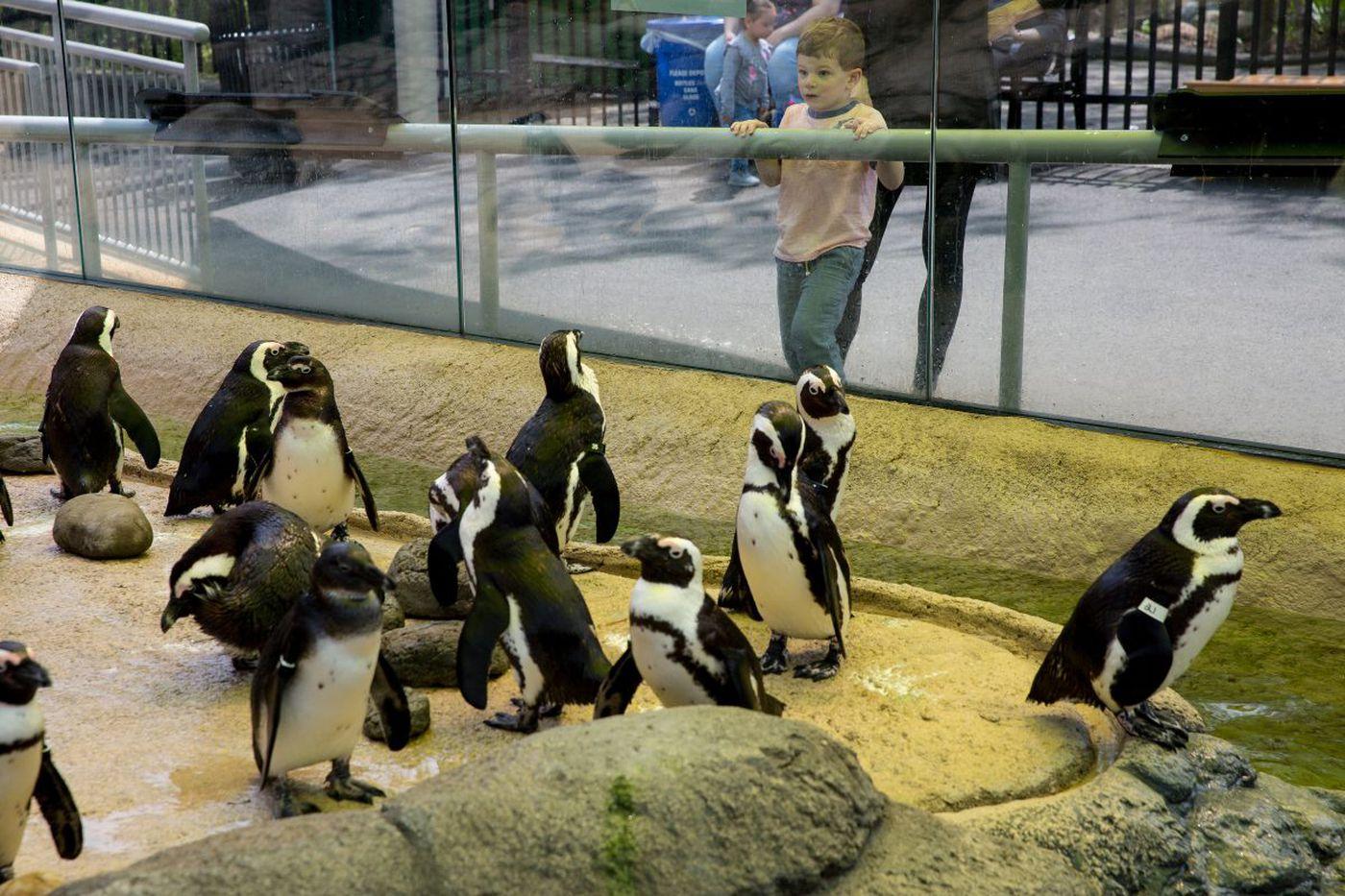 Endangered penguins splash it up in new digs at Camden's Adventure Aquarium