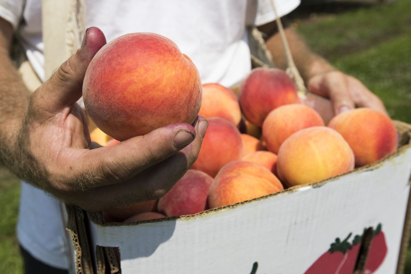 Wonder why Jersey peaches are so tasty this summer?