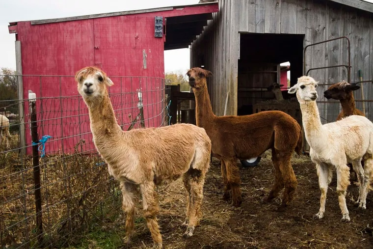 Alpacas roam after feeding at the Big Rock Alpaca Farm in East Berlin, Pa. The wool-producing cousins of camels are popping up throughout south-central Pennsylvania, one farmer said.