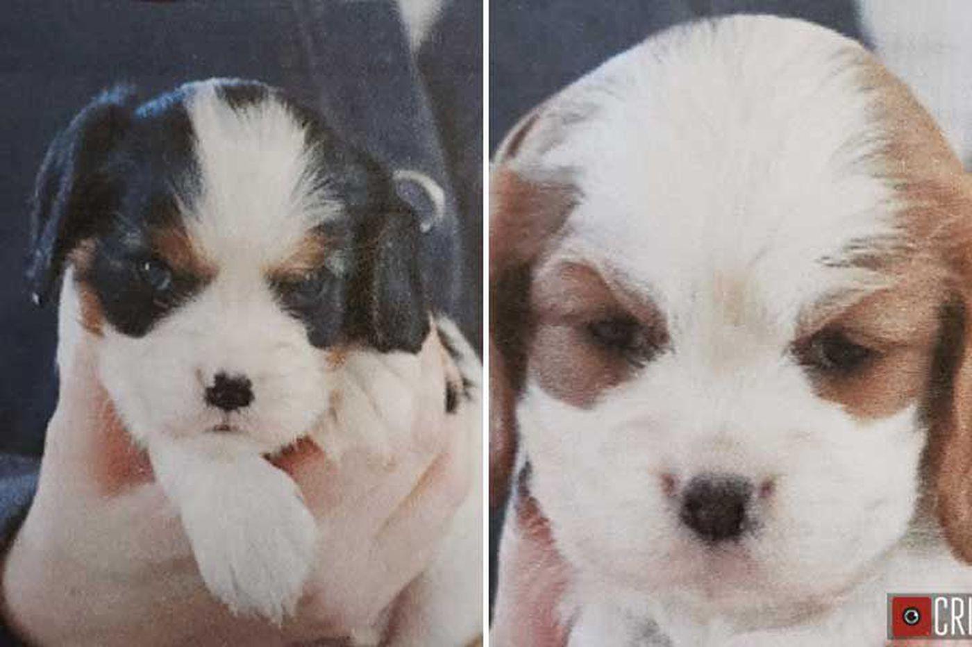 Bucks County breeder 'worried sick' after 7-week old puppies are stolen
