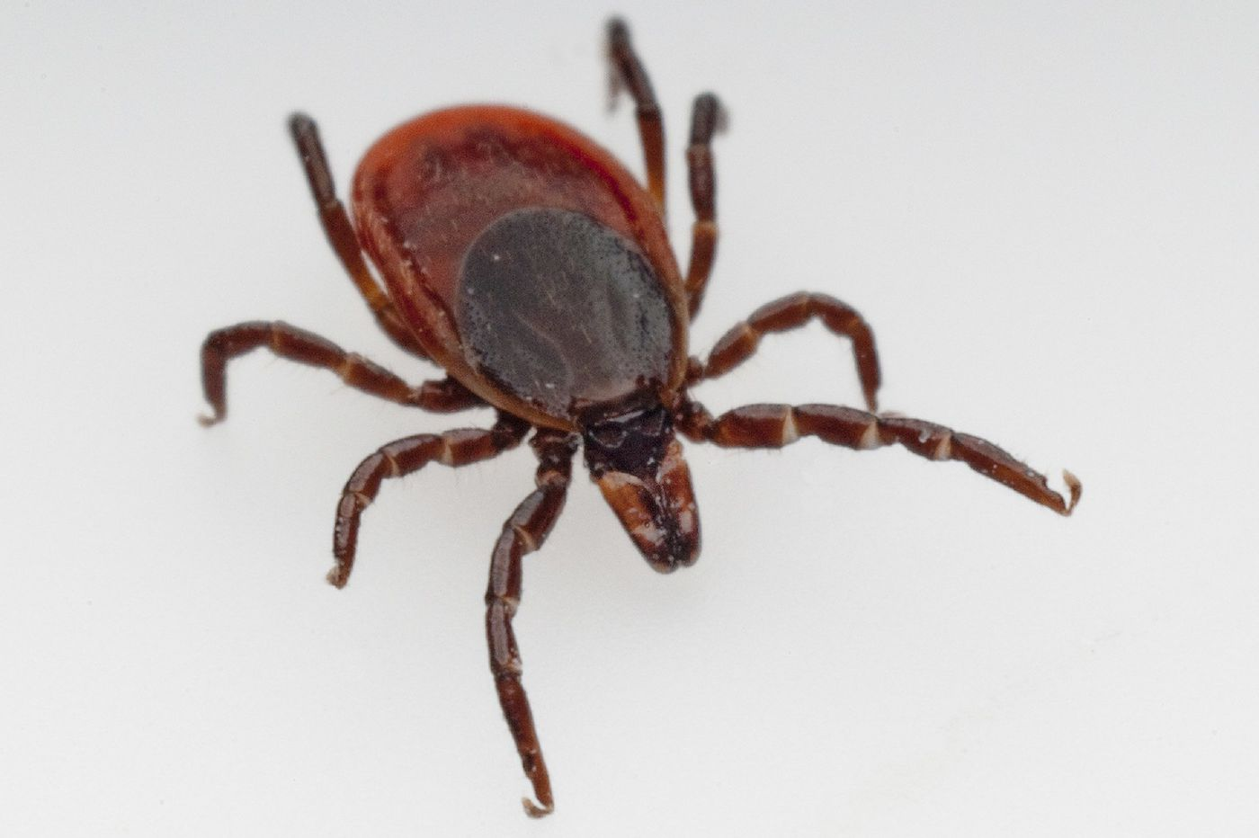 Lyme disease cases in Pa. are down, health department reports