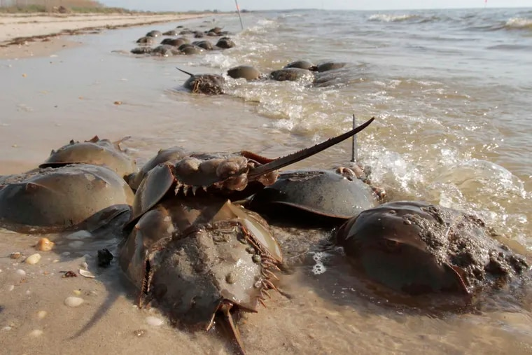 Spawning horseshoe crabs in Middle Township. The decline in horseshoe crab populations spells trouble for red knots, which feed on the crab eggs. Now, scientists fear a further reduction in horseshoe crabs because their blood is valued in the biomedical testing necessary for COVID-19 vaccines.