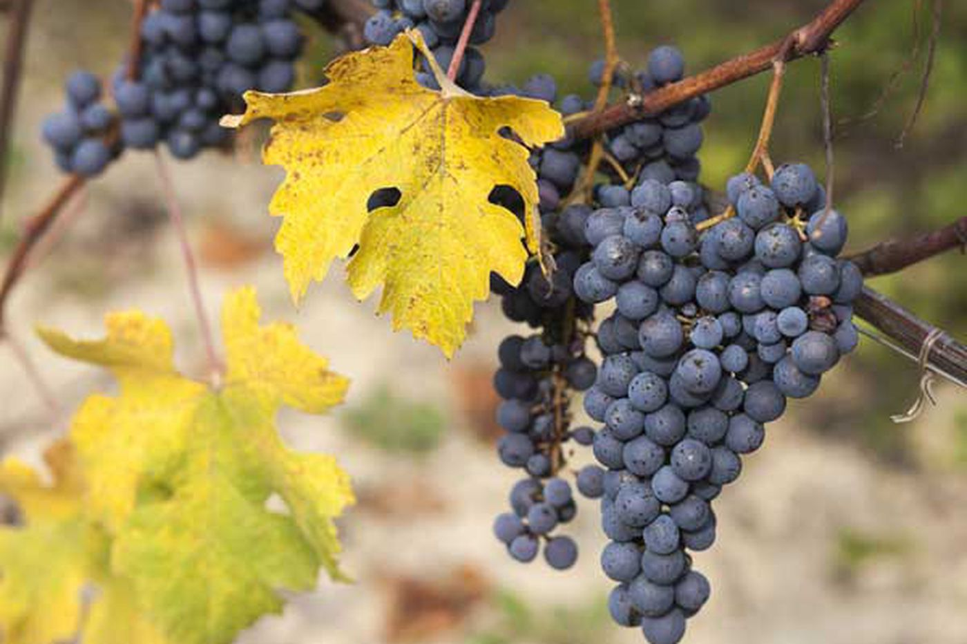 Planet of the Grapes: Dolcetto for summer