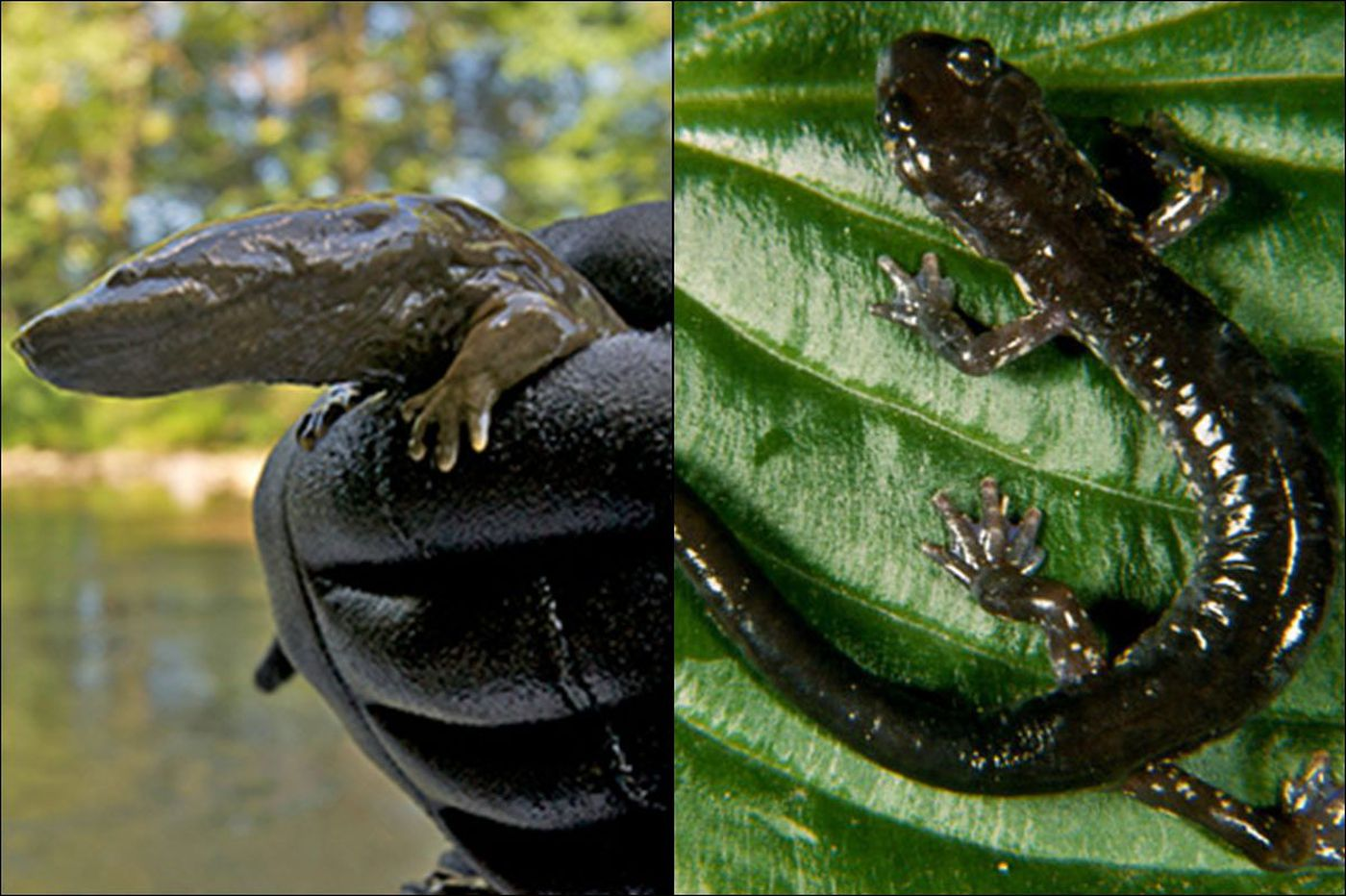 Seriously? Battle looms over Pa. state amphibian: Hellbender vs. Wehrle's
