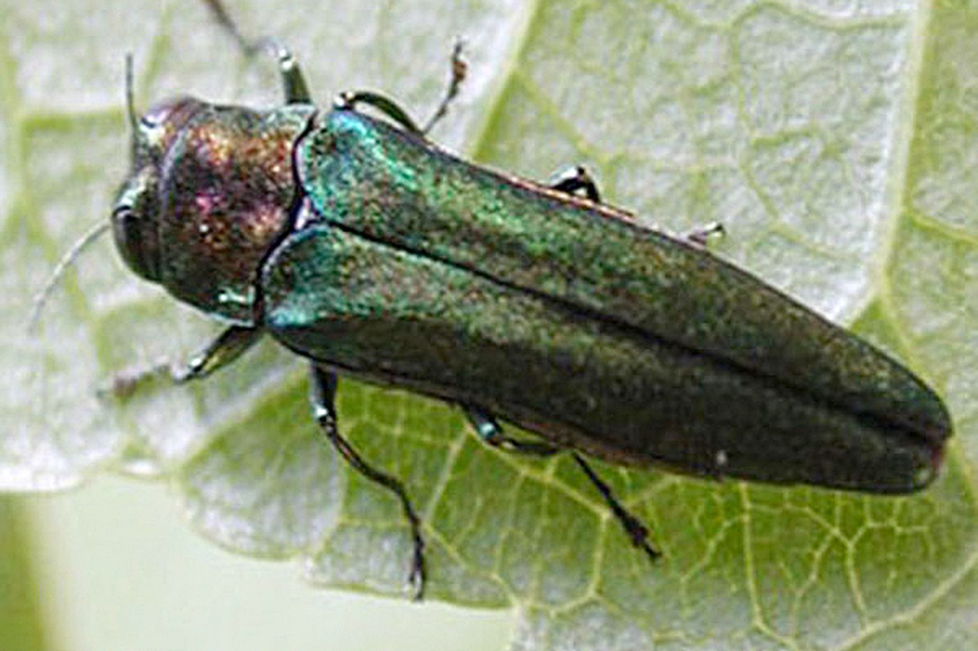 Borers branch out from ash trees