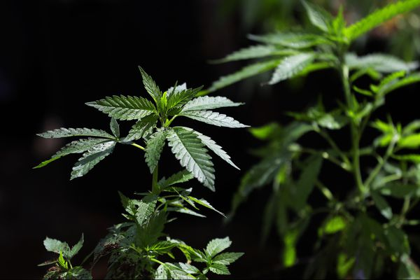With Gov. Wolf's signature, Pa. marijuana research proceeds
