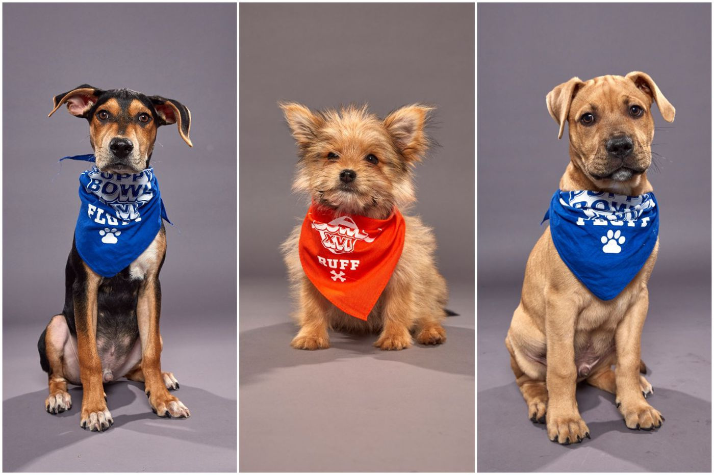 Meet the Philly-area dogs competing in Animal Planet's Puppy Bowl