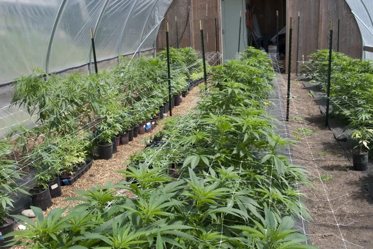 A commercial greenhouse production of organic medical marijuana in Port Townsend, Wash.